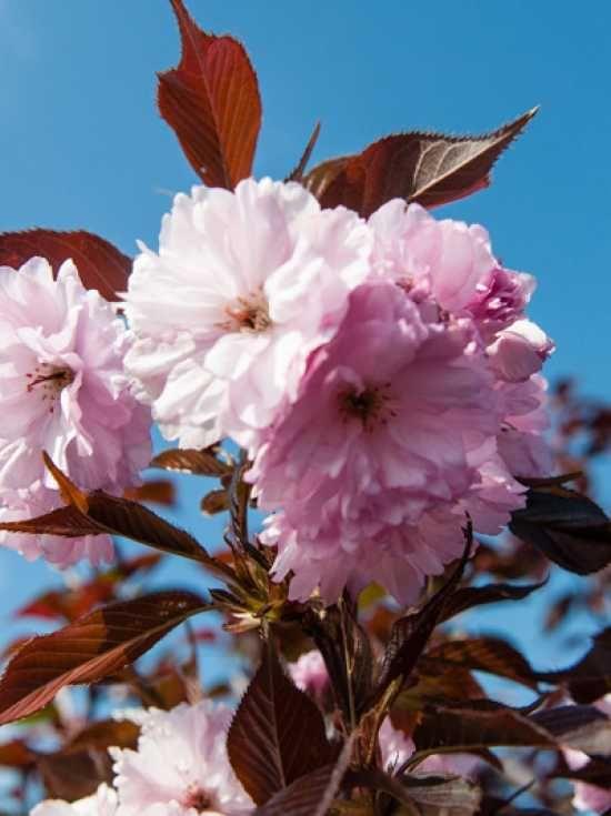 Prunus serrulata 'Royal Burgundy' / Rotblättrige Nelken-Kirsche 'Royal Burgundy' - Vorgarten