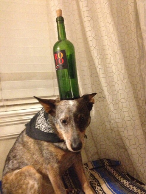 Best Les Chien Images On Pinterest Dogs A Dog And Animal House - Owners balances objects on dogs head