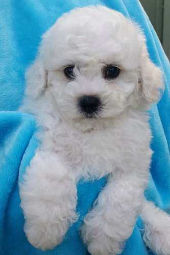 I have 2 beautiful boys left! Ready to go to their forever loving homes on 15th July 2015. These little bundles of joy will be vaccinated, microchipped, wormed and vet checked  - https://www.pups4sale.com.au/dog-breed/421/Bichon-Frise.html