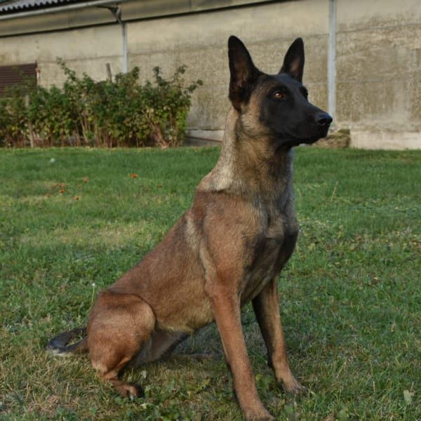 Trained Family Protection Dogs For Sale Scott S Police K9 Malinois Dog Dog Kennel Family Protection Dogs