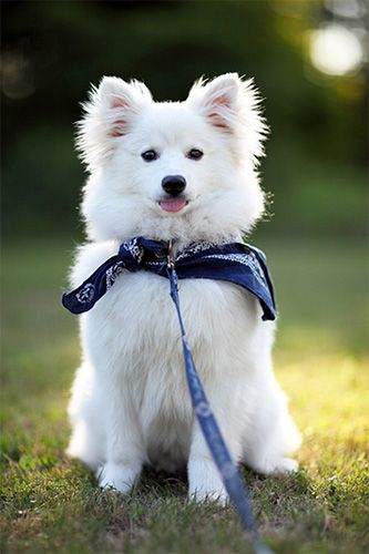 Американский эскимосский шпиц фото щенка