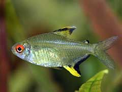 Top 10 Freshwater Aquarium Fish List - http://www.mypetarticles.com/top-10-freshwater-aquarium-fish-list/#more-17