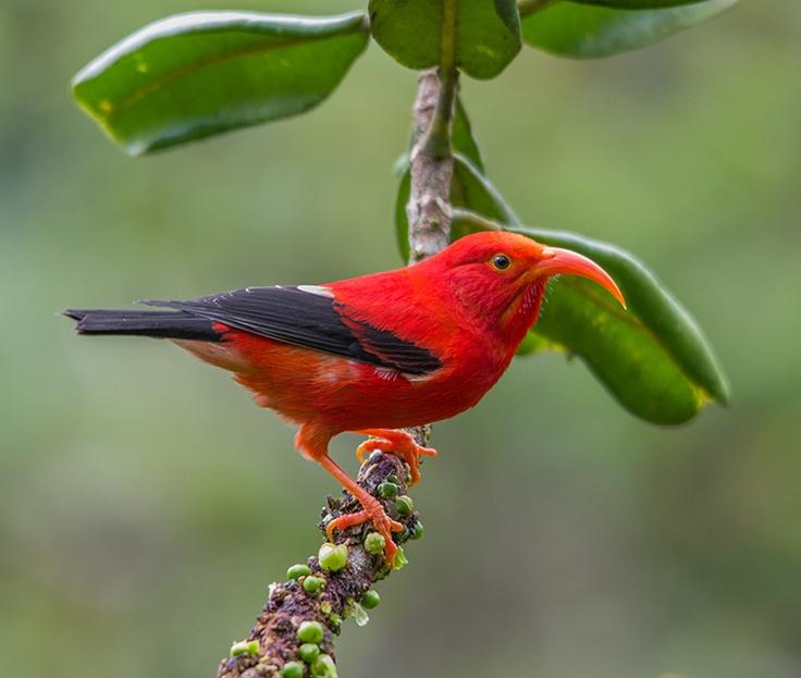 'I'iwi or Scarlet Hawaiian Honeycreeper (Fringillidae