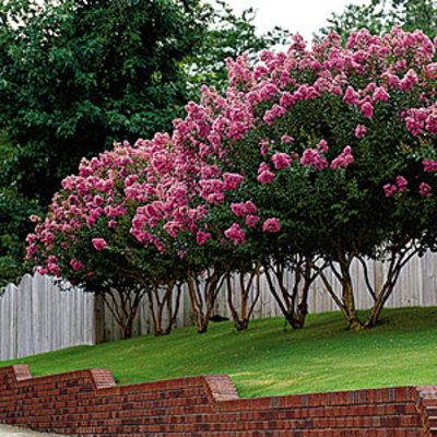 Crepe Myrtle Pruning Tips - Southern Living. On the long front stretch near 185. Possibly put ground cover like juniper along the front heading to the ditch.