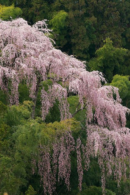 Fkujyu Temple sakura | Flickr - Photo Sharing!