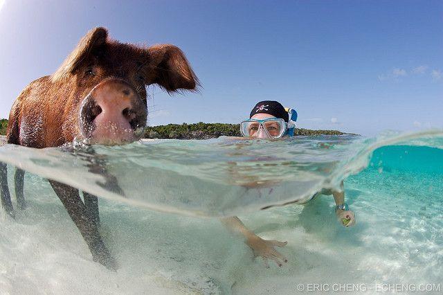 Пляж свиней, фото Эрик Ченг (Eric Cheng). Плавающие свиньи на Багамах (Остров свиней или Биг Мэйджор Кей, архипелаг Эксума, Багамские острова) ~ Pig Beach: Bahamas swimming pigs (Pig Island, Big Major Cay, Exuma, Bahamas)