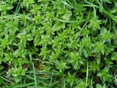 weed identification field guide pdf