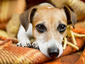 Seizure Like Activity In Dogs