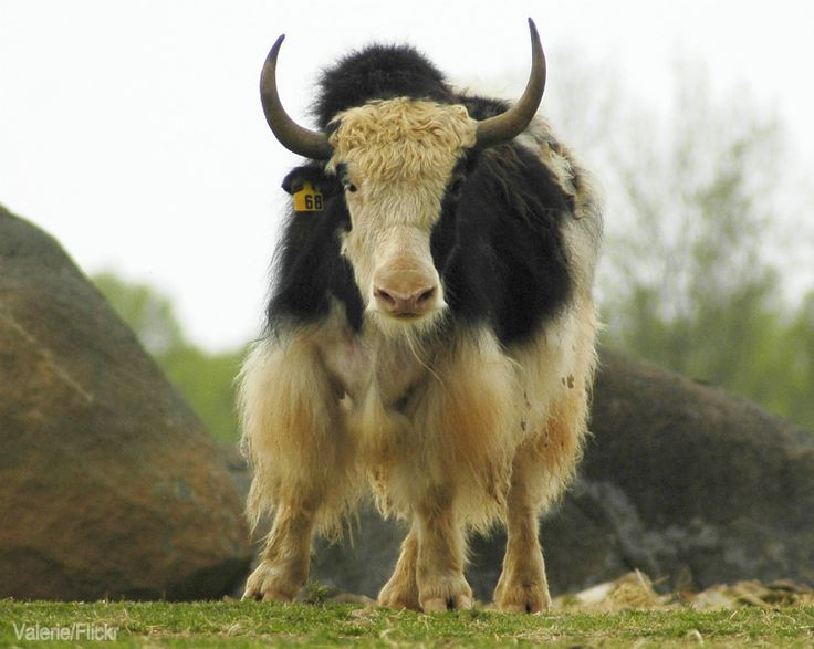 Image Of A Yak: 7 Things To Know Before Keeping Yaks -- Thinking Of Adding