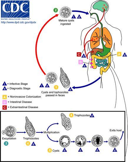 Entamoeba histolytica (amoebic dysentery); Protozoa, sarcodina