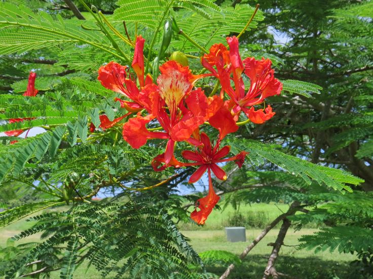 2014-08-06 Mooie boombloem op Kauai