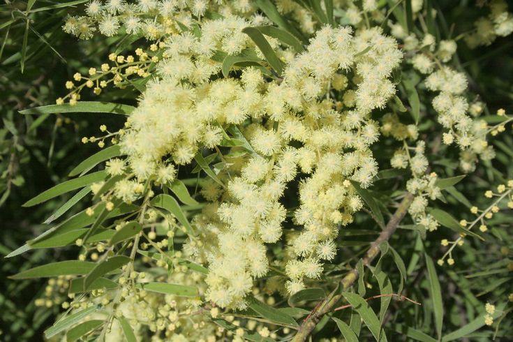 Native Australian Plants   Acacia-Fimbriata-Dwarf
