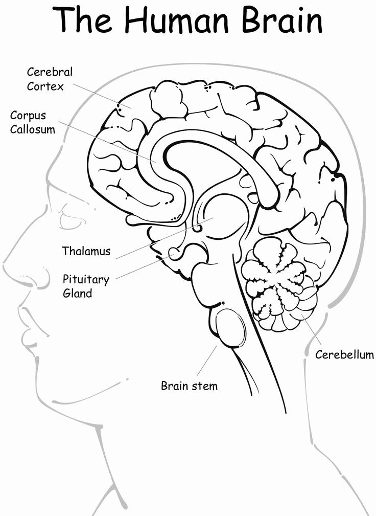 Printable Brain Anatomy Worksheet