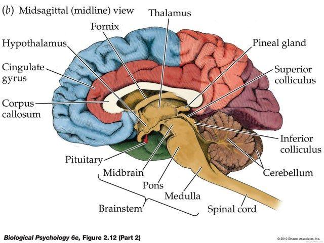 Inner Brain Diagram - koibana.info | Brain diagram, Brain ...