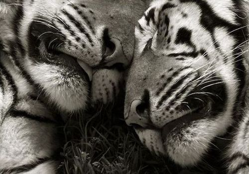 Tigers...: Animal Planets, Big Cat, Animal Pictures, Funny Animal Pics, Animal Hugs, Marina Canoeing, Canoeing Photo, Beautiful Creatures, Adorable Animal