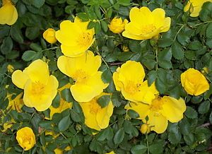 Austrian Copper Roses (rosa foetida): Rosa foetida, known by several common names, including Austrian briar, Persian yellow rose, and Austrian copper rose, is a species of rose, native to the foothills of the Caucasus Mountains in Georgia. It has yellow flowers with a scent which some find objectionable. Since there were no yellow roses native to Europe, its introduction from Persia was an important addition to the cultivation of roses, and R. foetida is now an important contributor to the…
