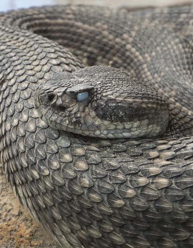 Some snakes have a third eyelid called a nictitating for What fish has eyelids