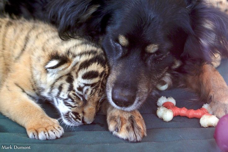 Blakely the Australian Shepherd Filling in as Parent to One-Month-Old Tiger Cubs – The Cincinnati Zoo & Botanical Garden