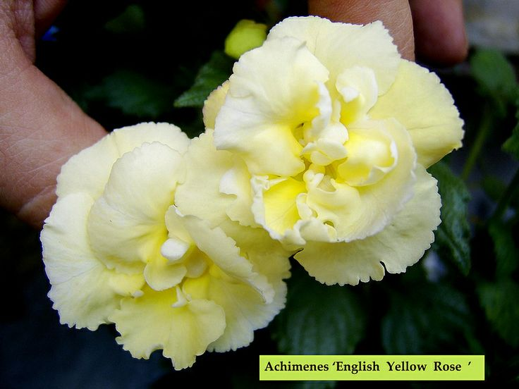 Achimenes 'Yellow English Rose '