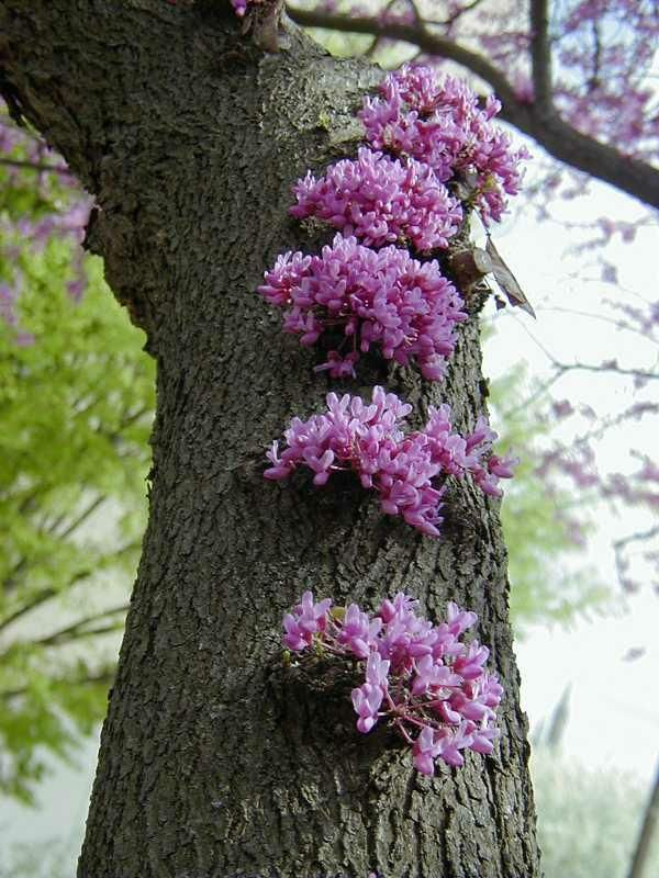 Top 235 ideas about flowering fruit and ornamental trees - Flowers that grow on tree trunks ...