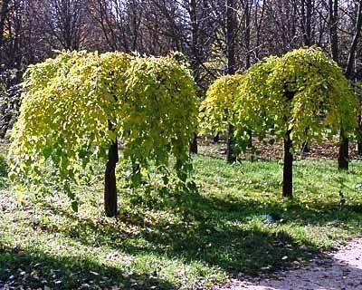 Ботаническая характеристика шелковицы Шелковица – растение семейства тутовых, листопадное дерево с очередными, простыми, лопастными, зубчатыми по краю листьями. Цветочки сидячие, с колосьями в виде п…