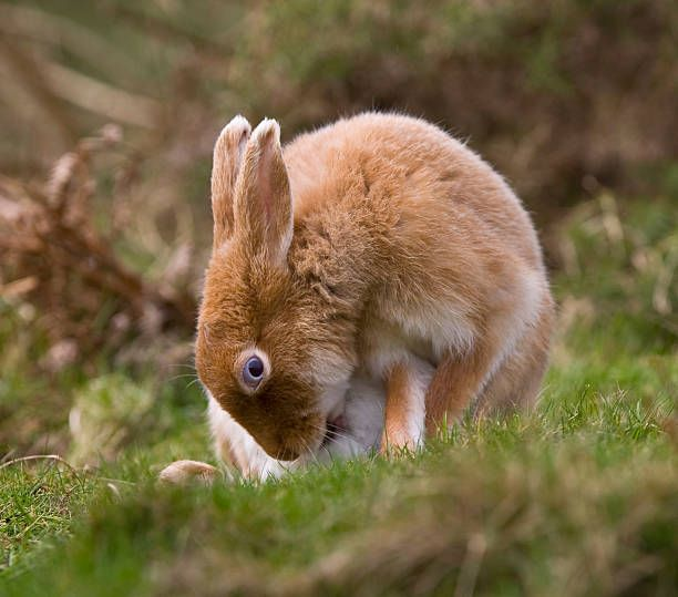 A Golden Irish Hare Seen On Rathlin Island Northern Ireland When It Animaux Lapin