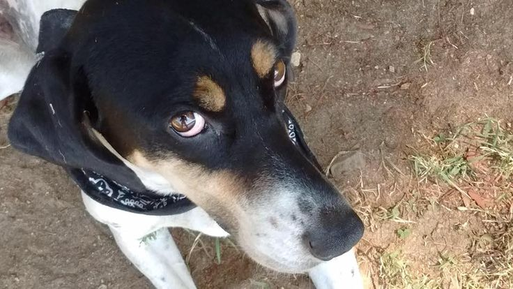Town of Stafford Animal Control Page Liked · September 24 · Edited ·   **UPDATE: Blue is back home! Thank you for all of the shares and concern!**  Courtesy Post - Missing Dog.  Blue, a blue coon hound, snuck out of her fenced yard on Whispering Pines Road, Stafford on 9/23/16 at around 10 pm. Wearing a red collar. She's timid, DO NOT CHASE. Please report all sightings to Stafford Animal Control, 860-684-2382 or private message us on Facebook.