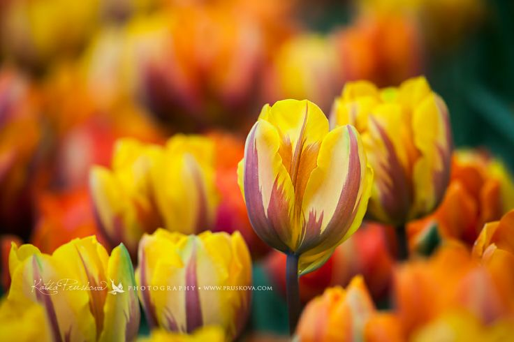 Extraordinary orange yellow tulip field with one standing out, Holland, Katka Pruskova Photography   www.pruskova.com