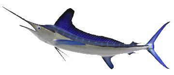 White Marlin Fishing in Miami -White Marlin Fishing in Miami Beach