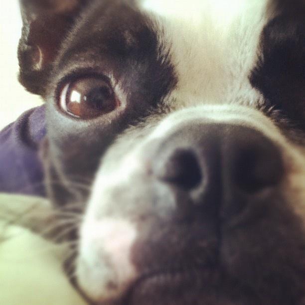 #bostonterrier  #boston #terrier #picture
