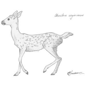 white tailed fawn art sketch illustration drawing animals wildlife