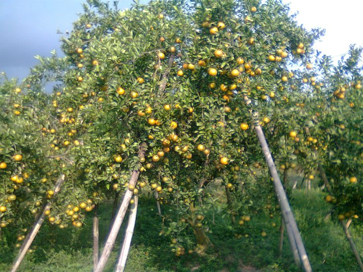 edisis busukan dikebun jeruk