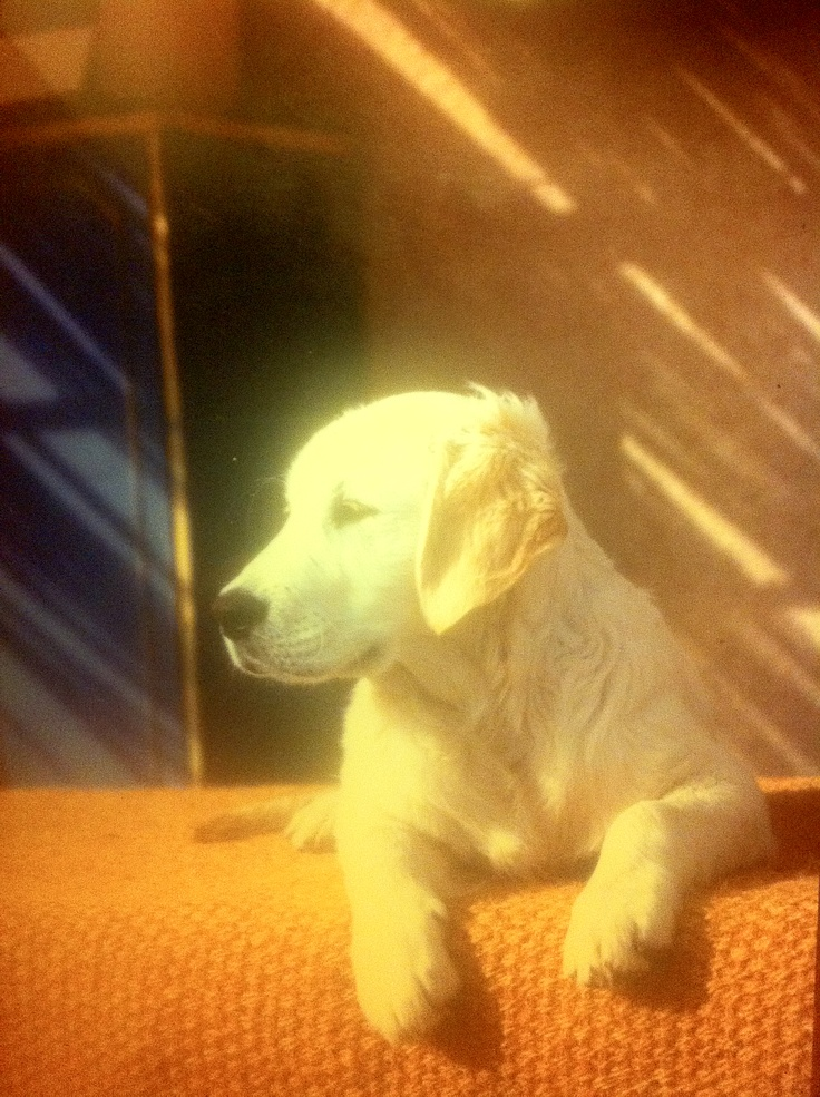A lovely young Golden Retriever ! It was Tristan in '99