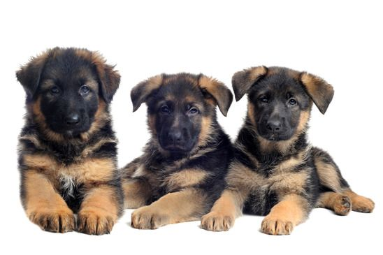 how to start training your german shepherd puppy