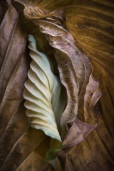 "Great shape inspiration for foldforms (Ralph Gabriner | ""Hosta Leaves 10"" Color Photograph). This would be great inspiration for metal-forming a pendant or earrings."