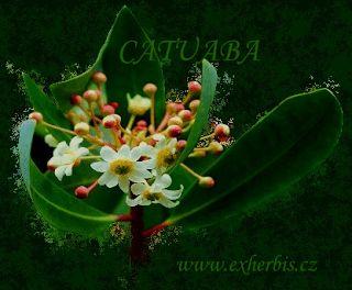ExHerbis: Catuaba - přírodní elixír lásky a plodnosti | exhe...
