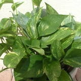About.com: Golden Pothos Vine (Epipremnum pinnatum) is exceptionally tough and easy to propagate and maintain.