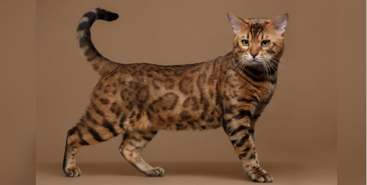 Newest Snap Shots Bengal Cats Cost Thoughts In 2020 Cat Breeds Bengal Cat Unique Cats