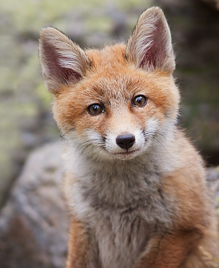 Little fox by Stefano Ronchi, via 500px