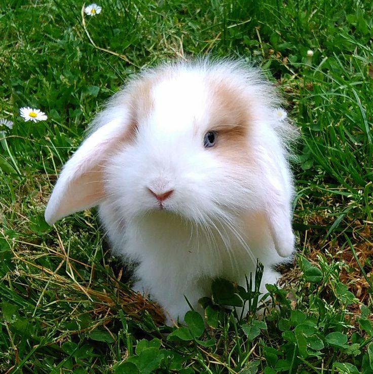 Rose prend la pose... Adorable lapin nain bélier. Rose, lapin bélier nain femelle de 3 mois dans le jardin.