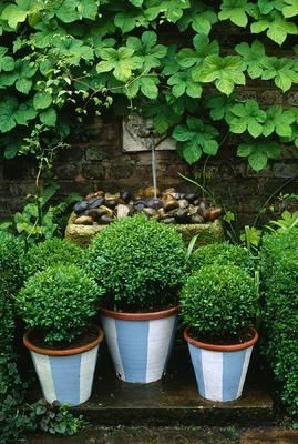 Small boxwood in containers