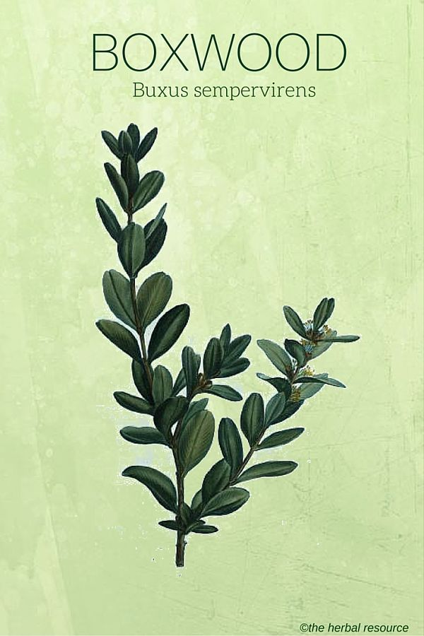 Boxwood - Medicinal Plant