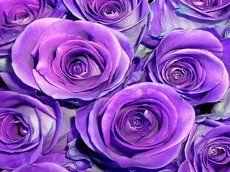 rosas roxas para os amantes de roxos