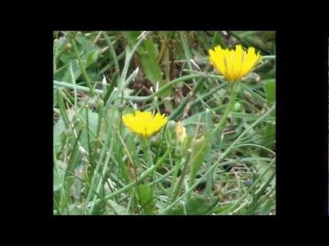 How to make cancer killing dandelion root tea - YouTube