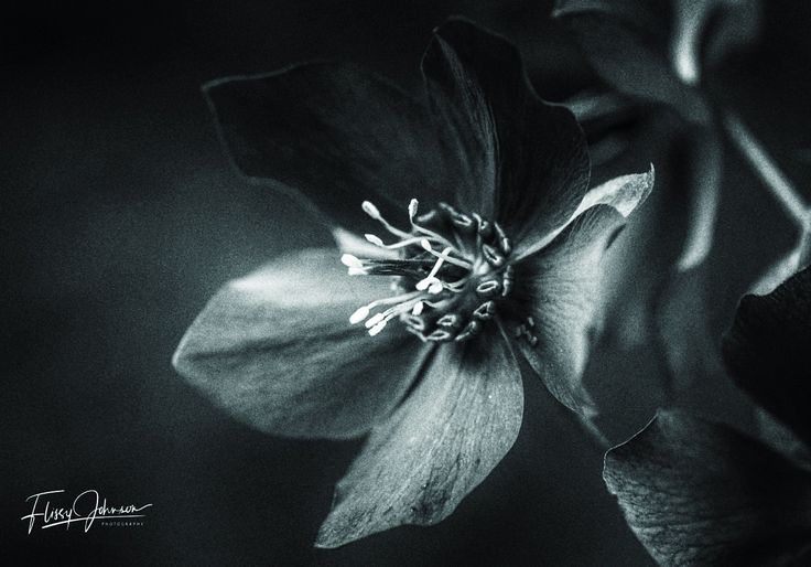 Dark Bloom http://flissyjohnsonphotography.com.au