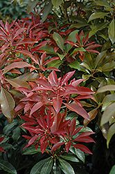 Click to view full-size photo of Mountain Fire Japanese Pieris (Pieris japonica 'Mountain Fire') at Hicks Nurseries