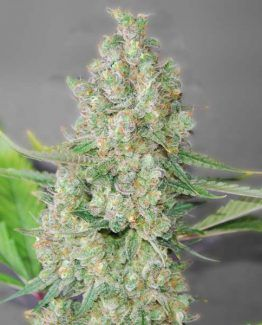 Super Skunk Feminized Marijuana Seeds for sale