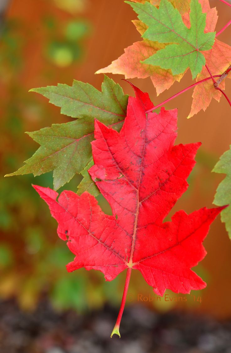 ~~Autumn Hangs On | Intensely red autumn Sugar Maple leaf hangs on in our backyard, 2014 | by Robin Evans~~