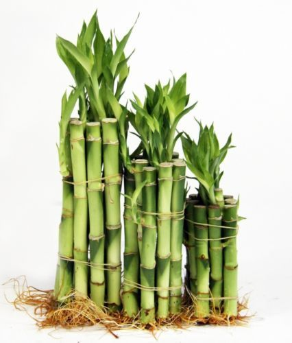 80 best images about lucky bamboo on pinterest feng shui tips feng shui and indoor bamboo plant. Black Bedroom Furniture Sets. Home Design Ideas