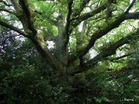 Chêne Arthur, château de Comper, forêt de Brocéliande (Morbihan) | Krapo arboricole